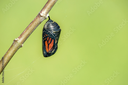 Stampa su Tela Monarch butterfly chrysalis hanging on milkweed branch