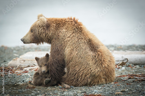 Alaskan Grizzly sow and cub so cute on beach.