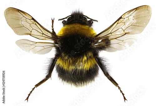 Foto The Garden Bumblebee on white Background  -  Bombus hortorum (Linnaeus,1761)