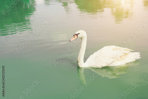 Graceful swan floating in the pan, pour the emerald green lake.
