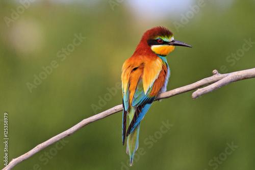 Fototapeta premium kolorowy ptak na zielonym tle