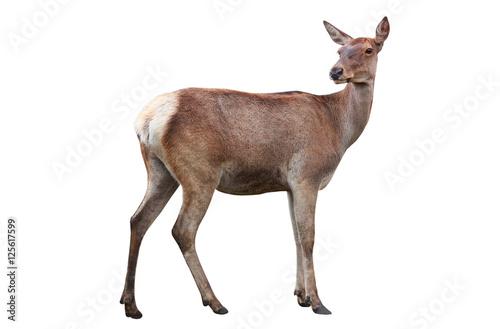 deer Fototapet