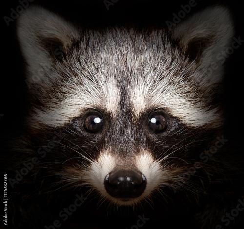Obraz na plátně Portrait of a cunning raccoon closeup on a black background