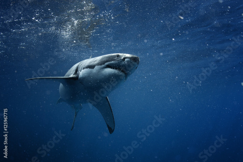 Fototapeta premium Wielki biały rekin w niebieskim oceanie. Fotografia podwodna. Polowanie na drapieżniki w pobliżu powierzchni wody.