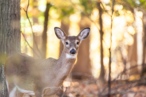Canvas Print Young Whitetailed Deer Doe