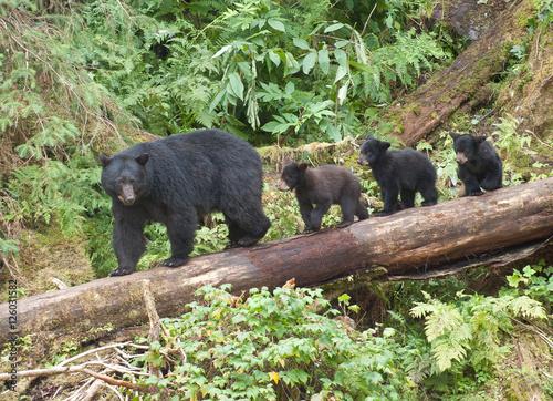 Fotografia, Obraz Mama Bear and Three Cubs, Anan Creek