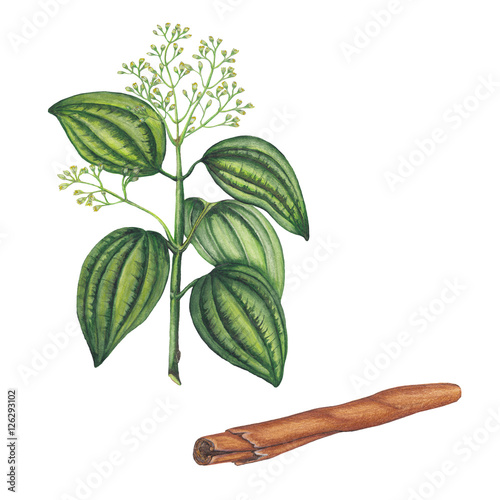 Fényképezés Watercolor illustration of cinnamon plant