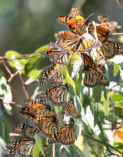 Fototapeta premium Monarch motyle (Danaus plexippus) w Natural Bridges State Beach, Santa Cruz, Kalifornia, USA.