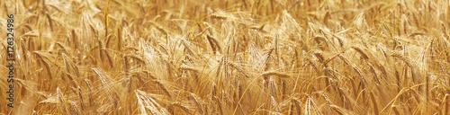 barley field background Fotobehang