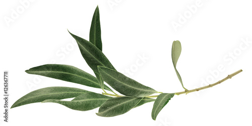 Photo of green olive branch, isolated on white