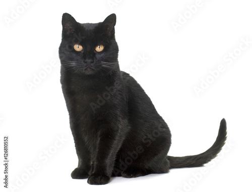 Carta da parati black cat in studio