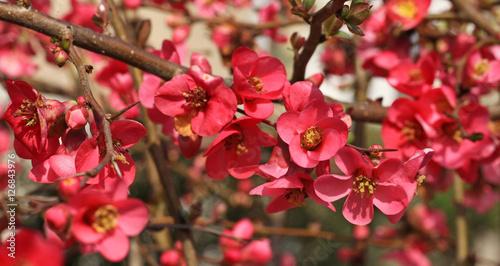 Canvas Fleurs de cognassier du Japon