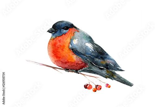 Foto Watercolor with red winter bird bullfinch. Robin.
