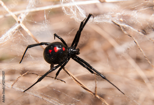 Black Widow spider outdoors on a web