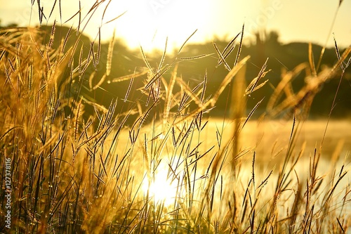 Stampa su Tela Grass flowers on riverside with the morning light