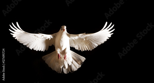 Fotografering white dove with open wings flies on a black background