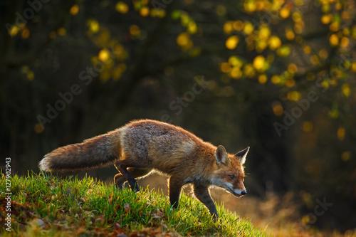 Fototapeta Red Fox, Vulpes vulpes, animal at green grass forest during autumn