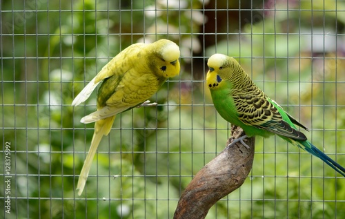 budgies Melopsittacus Undulates in a garden aviary Fototapete