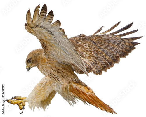 Valokuva Red tail hawk landing attack hand draw and paint vector illustration