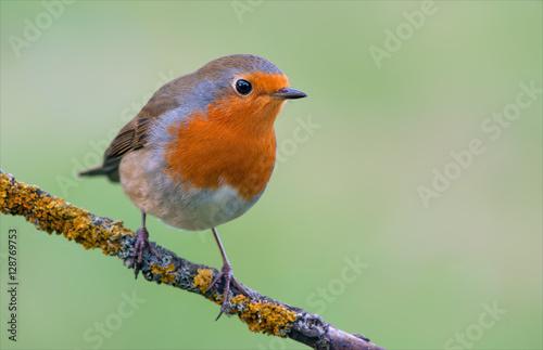 Photo European robin posing on a lichen perch