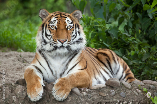 Canvas Print Siberian tiger (Panthera tigris altaica)
