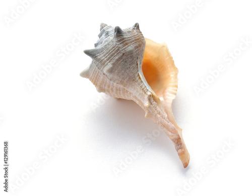 Exotische Meeresmuschel Fasciolaria