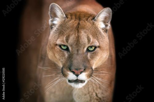 Photo Puma, cougar portrait isolated on black background