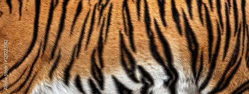 Fototapeta premium prawdziwa skóra tygrysa, futro