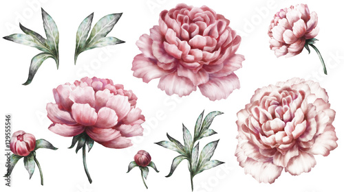 Stampa su Tela Set vintage watercolor elements of pink peonies, collection garden flowers, leaves, illustration isolated on white background
