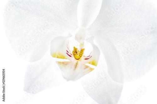 Fototapeta premium Orchidea
