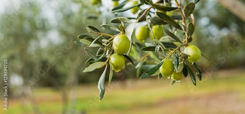 Obraz na płótnie Green Olives Tree