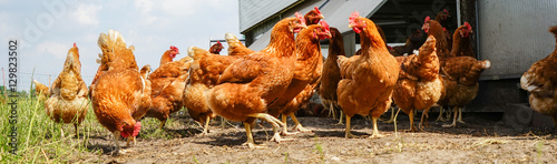 Tablou Canvas Hühnerschar neben einen mobilen Hühnerhaus