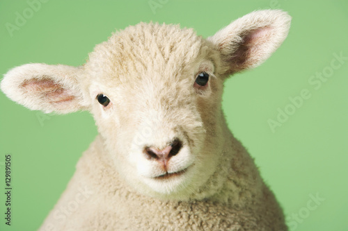 Fototapeta Closeup portrait of a cute lamb against green background