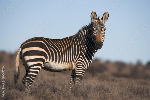 Fototapeta Cape mountain zebra, Equus zebra zebra, Mountain Zebra National Park, Eastern Ca