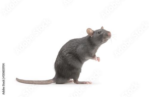 rat isolated on white background Fototapeta