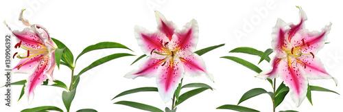 Three elegant spotted pink lily flowers Fototapet