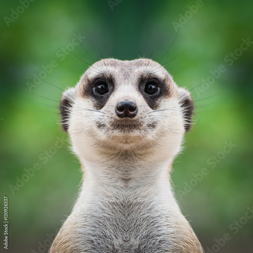 Obraz na plátně Meerkat face close up
