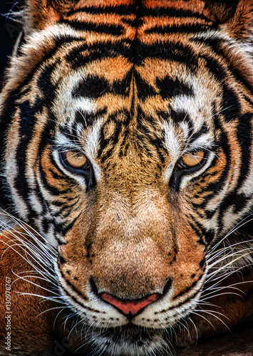 Tiger and his eyes fierce.