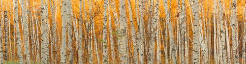 Fotografía ultra wide autumn birch forest pattern.