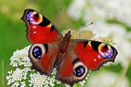 Fototapeta Peacock butterfly on flower