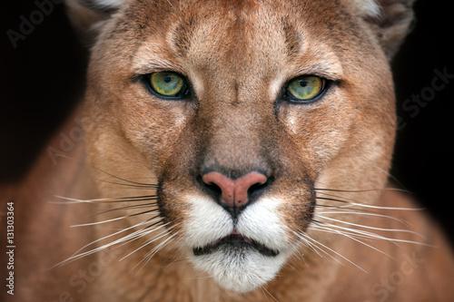 Puma close up portrait with beautiful eyes isolated on black background