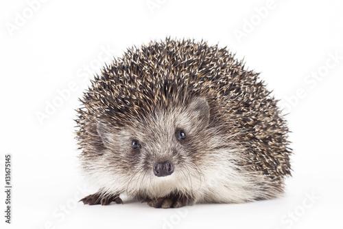 Fototapeta hedgehog isolated