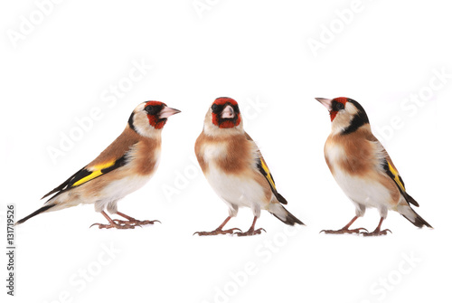 Canvas-taulu goldfinch