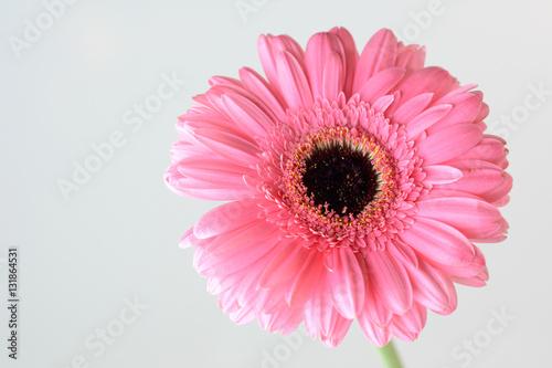 gerbera - zbliżenie wyizolowanego różowego kwiatu na białym tle