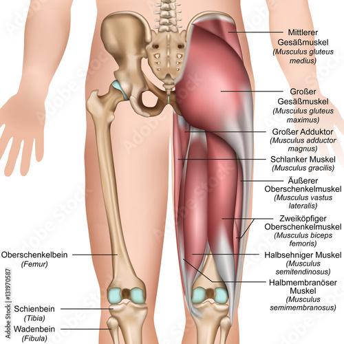 Photo Anatomie der Oberschenkel und Gesäßmuskulatur von hinten