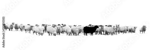 Schwarzes Schaf in der Schafherde Fototapeta