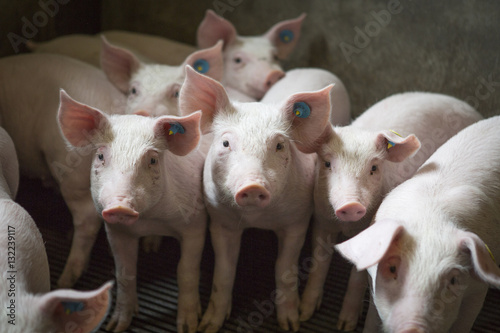 Canvas Print Piglets indoors on a pig farm in the Netherlands, Europe