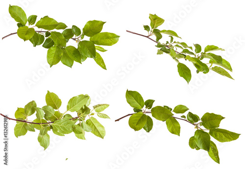 Fototapeta apple-tree branch with green leaves. Isolated on white backgroun