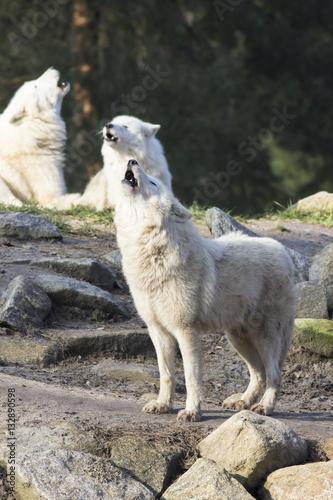 Fotografie, Obraz howling wolfpack