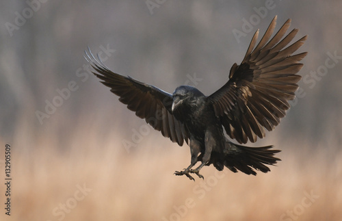 Canvas Print Common Raven (Corvus corax)